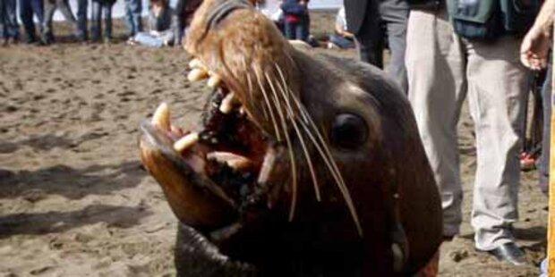 Seelöwe fälltTrainer in Australien an