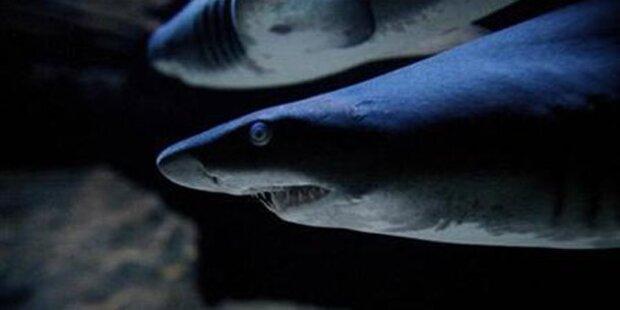 Erstmals Hai-Angriffe im Osten Russlands