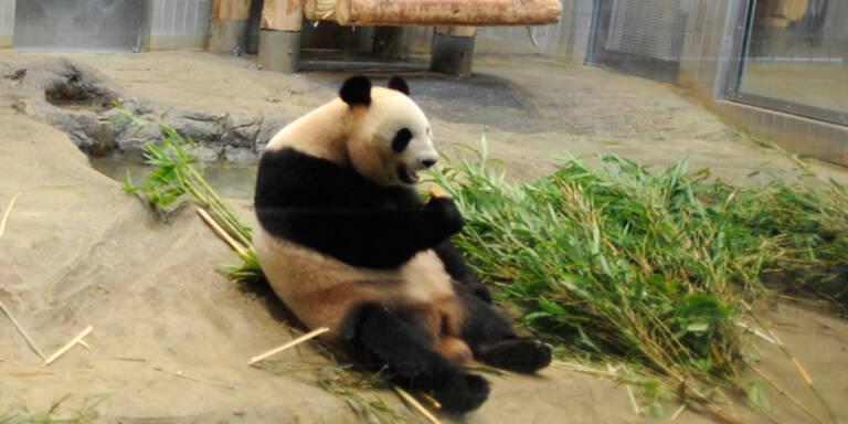 Panda-Lady Shin-Shin macht Japan verrückt