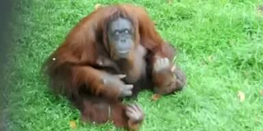 Orang-Utan-Weibchen auf Zigaretten-Entzug