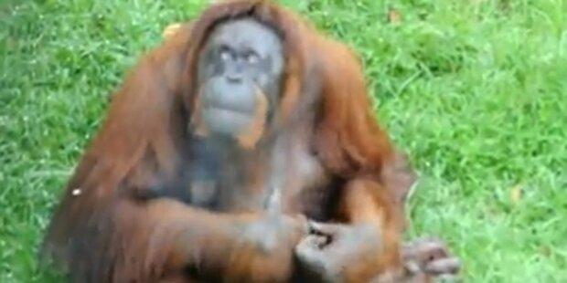 Rauchender Orang-Utan auf Entzug