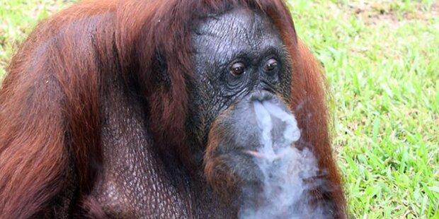 Orang-Utan Shirley auf Rauch-Entzug