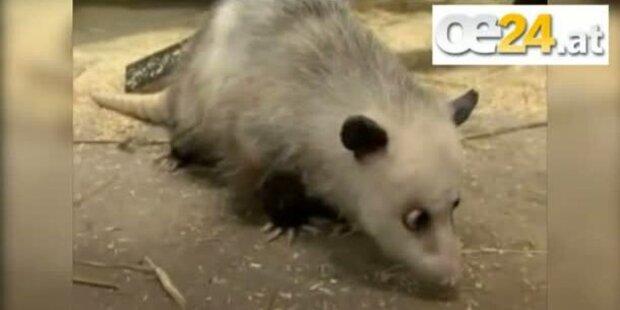 Schielendes Opossum Heidi ist tot