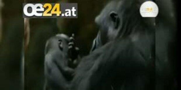 Züricher Zoo: Gorilla Baby Libonza ist tot