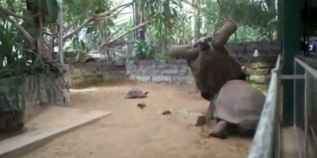 Kuriose Sex-Panne zweier Schildkröten