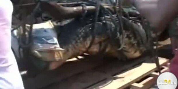 6 Meter langes Monster-Krokodil gefangen