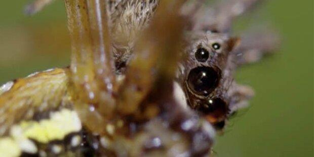 Das ist die intelligenteste Spinne der Welt