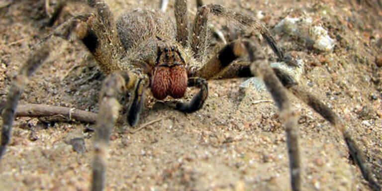 Mehr Potenz mit Spinnen-Viagra