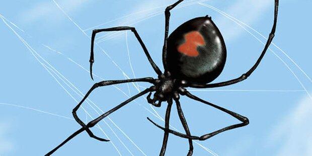 Tödliche Spinne beißt Mann in Penis – schon wieder!