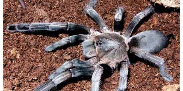 Giftspinnen-Invasion inNordaustralien