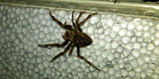Tausende Spinnen befallen Schiff