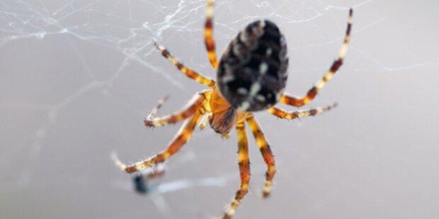 Angst vor Spinnen nicht angeboren