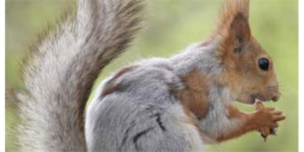 Eichhörnchen sind in England eine Delikatesse
