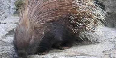 Sex mit Stachelschweinen verboten