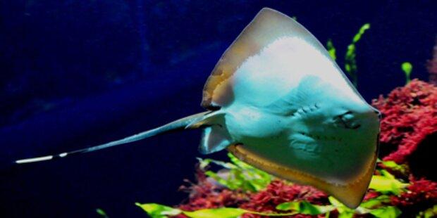 Haus des Meeres: Nachwuchs bei Stechrochen