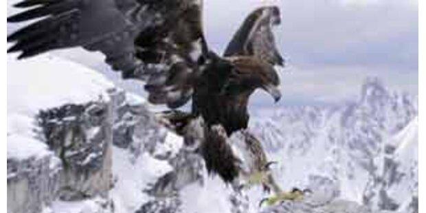 Adler attackierte Schweizer Gleitschirmpilot