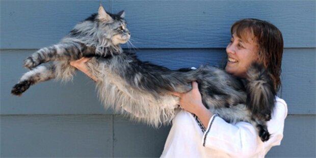 Größte Katze der Welt ist 1,2m lang