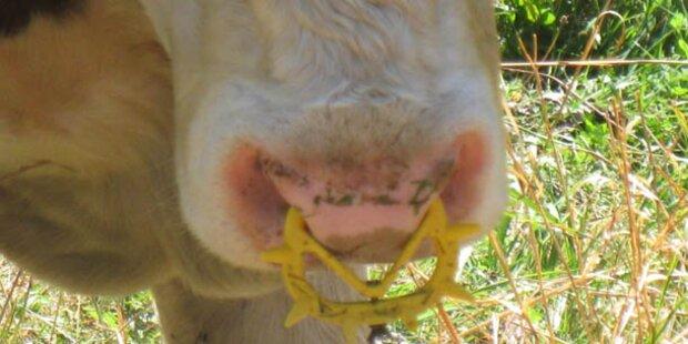 Arbeiter von Zucht-Stier verletzt