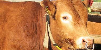 Bauer von 800-Kilo Stier angefallen