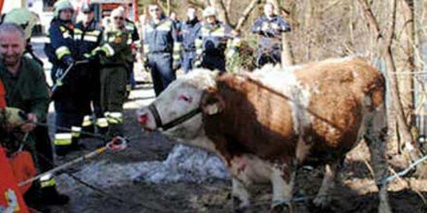 Wilder Stier flüchtet vor seinem Metzger