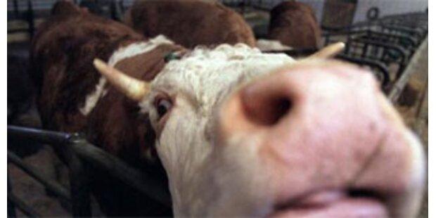Entlaufener Stier von Polizisten getötet