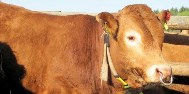 Stier attackierte Landwirt: verletzt