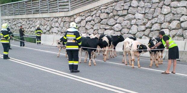 Bosrucktunnel: 37 Stiere auf der A9
