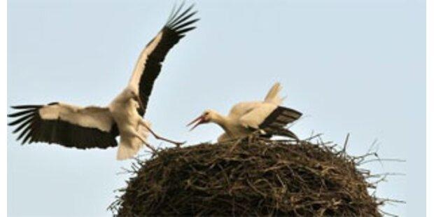 Erster Storch in Österreich gelandet