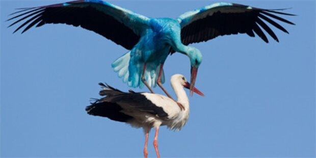 Blauer Storch von Industriefarbe gefärbt