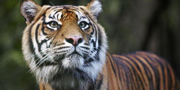 Sumatra-Tiger bringt Junge zur Welt