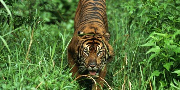 Sumatra-Tiger tötet Waldarbeiter