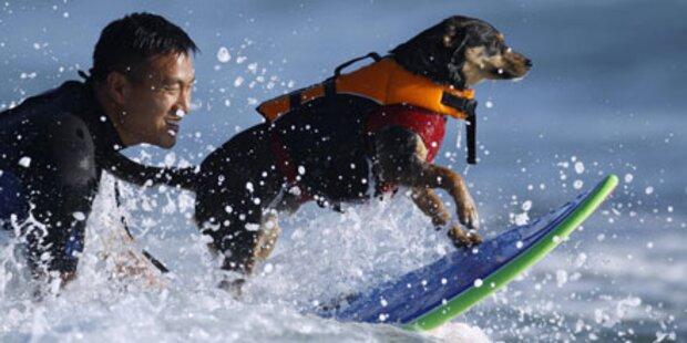 Sportlich! Surfende Hunde in Kalifornien
