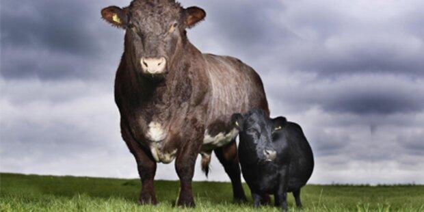 Kleinste Kuh der Welt misst 84 Zentimeter