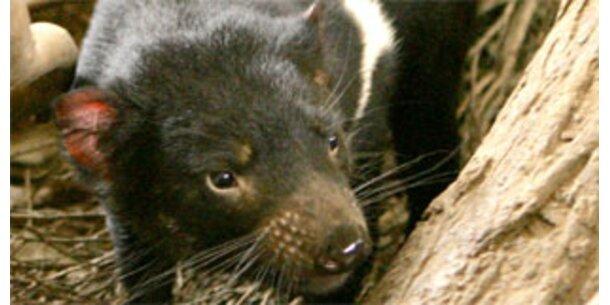 Tasmanischer Teufel vom Aussterben bedroht
