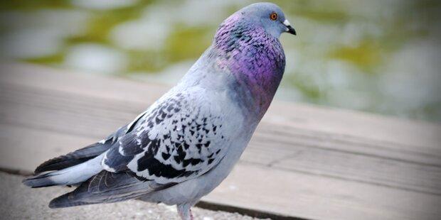 25 Tauben unter Reserverad versteckt