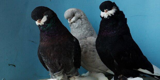 Diebe stehlen über 450 Tauben