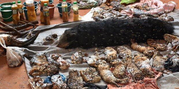 40 tote Tigerbabys in Tempel gefunden