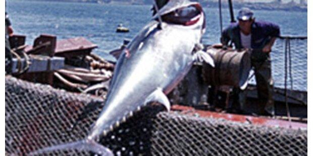 Italien fängt mehr Thunfisch als erlaubt