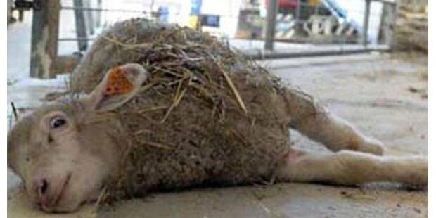 70 Schafe bei Verkehrsunfall verendet
