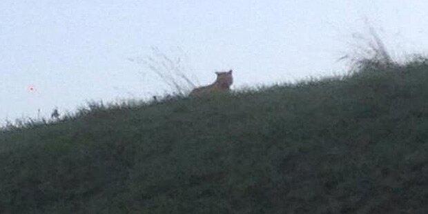 Tiger im Großraum Paris entlaufen
