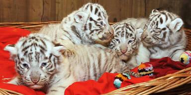 Vier weiße Tiger-Babys in NÖ