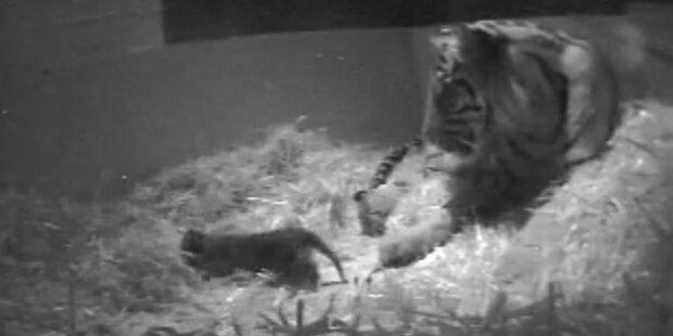 Drama um neu- geborenes Tiger-Baby