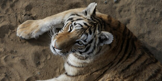 19-Jähriger in Tierpark von Tiger attackiert