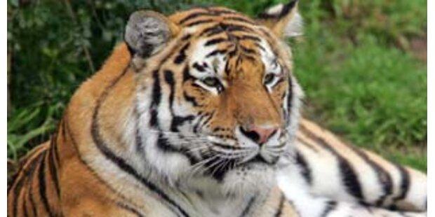 Entlaufener Tiger in den USA tötete Zoobesucher