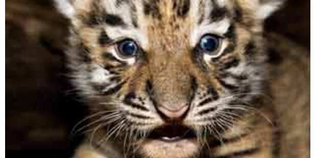Tigerbaby mit Mund-zu-Mund-Beatmung gerettet