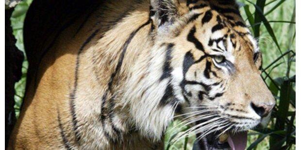 Angst vor Tiger an Österreichs Grenze