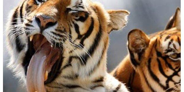 Tiger zerfleischte Arbeiter in Vietnam