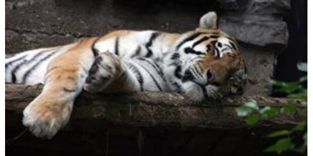 Tiger und Löwen bei Transport erstickt