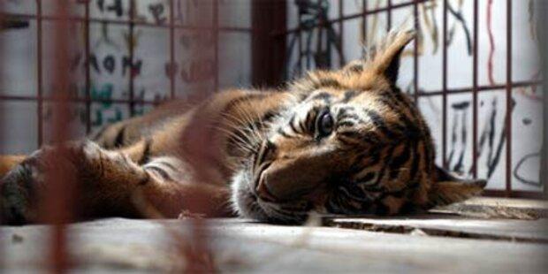 Mann tötet Tiger im Zoo - Haftstrafe
