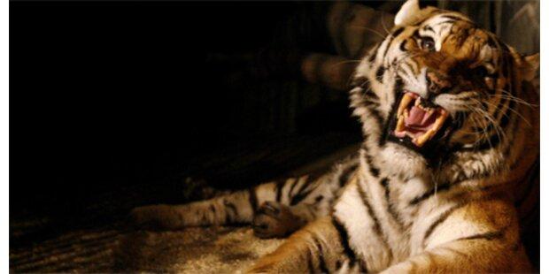 Ältestem Tiger Europas werden Krallen geschnitten